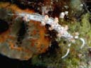 Flabellina sp. 3