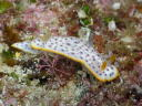 Chromodoris aspersa