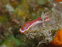 Chromodoris sp. 2